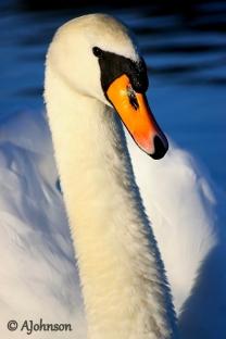 Mute swan.JPGa